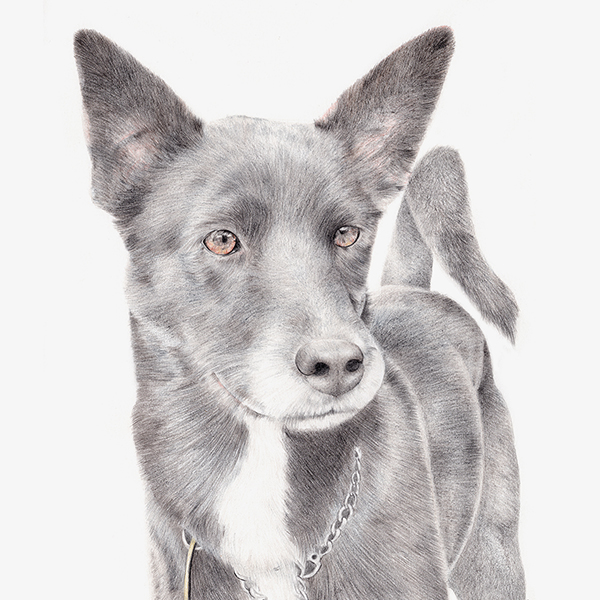George-the-cattle-dog